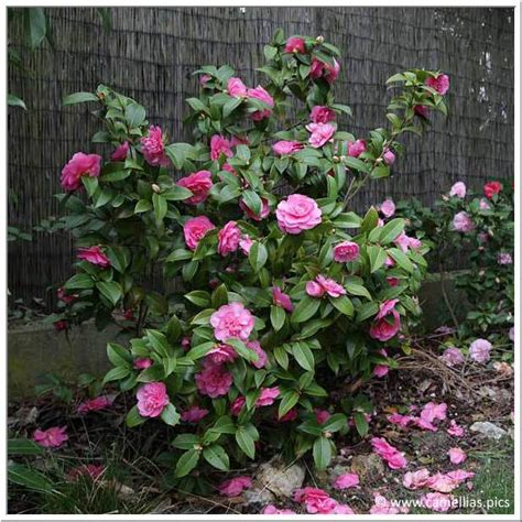 camellia care