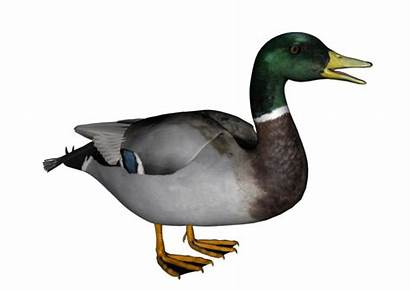 Duck Transparent Clipart Ducks Mallard Report Clip