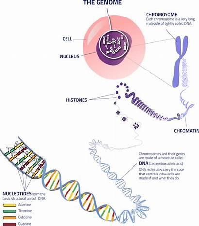 Genomics Genome Dna Understanding Cell Blueprint