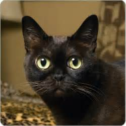 Follow the Piper: BOMBAY CATS