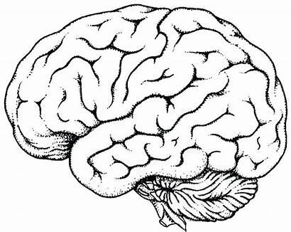 Brain Coloring Human Printable Drawing Factory Drawings