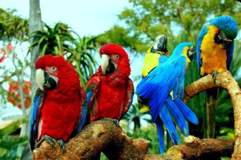 macaw lifespan 10 interesting macaw facts my interesting facts