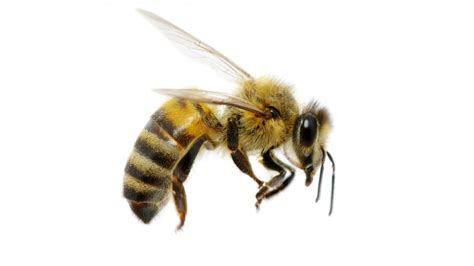 Bee Images When I Eat Honey Do I Hurt Bees Grist