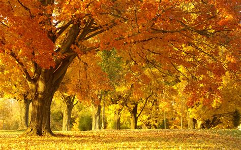 Wallpaper Golden Tree by Golden Autumn Tree Wallpaper Autumn Nature Wallpapers In