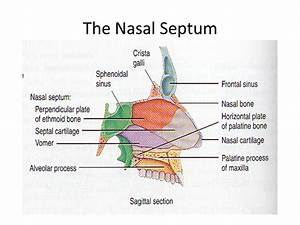 Anatomy of Nose and Paranasal Sinus - ppt video online ...