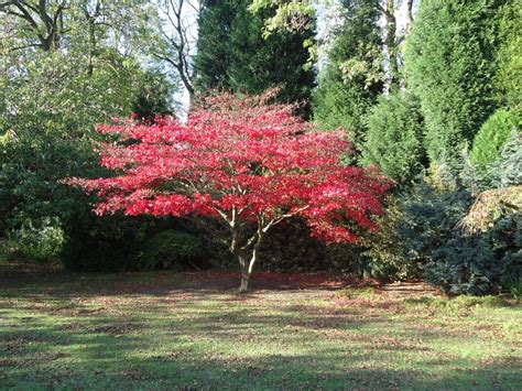 acer trees images panoramio photo of red acer tree 25th oct 2011