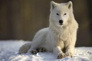 Polarwolf, Forum, F, U00fcr, Naturfotografen