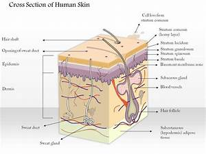 0614 Cross Section Of Human Skin Medical Images For