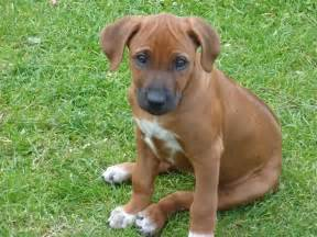 rhodesian ridgeback dog puppy dog gallery