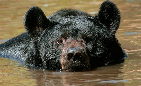 smoky mountain black bear    swim  backyard pool video included