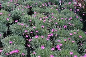 Schnell Wachsende Laubbäume Für Den Garten : bodendecker winterhart immergrne blhende bodendecker ~ Michelbontemps.com Haus und Dekorationen