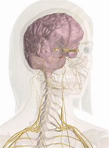 Nerves Of The Head And Neck