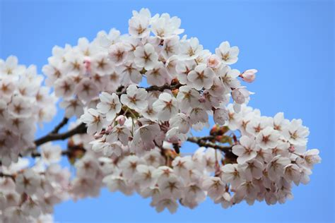 Free Images : tree nature branch sky white flower