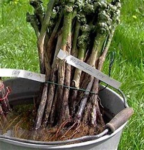 rebpflanzen setzen  schneiden pflanzung von reben