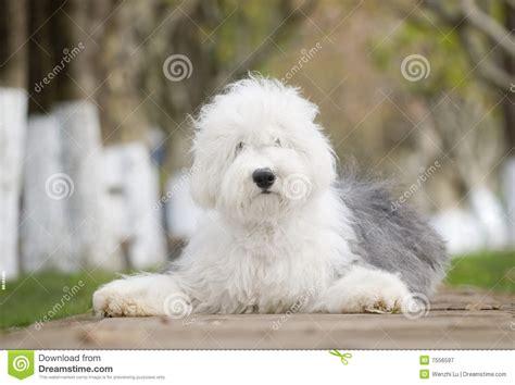 dog  english sheepdog stock image image  sheepdog