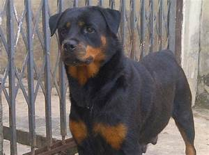 Female Rottweiler Puppy For Sale. From Imported German ...