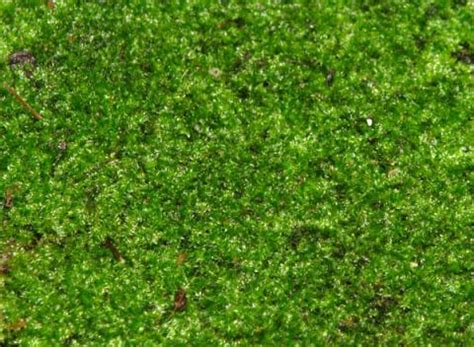 how to grow sheet moss live sheet terrarium moss 6 quot sq 10 from lll reptile supply company grow pinterest