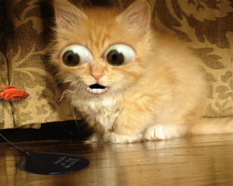 Funny Cat Wallpaper Vidurnet