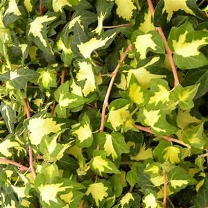 Plantes Et Jardin : lierre commun 39 goldheart 39 plantes et jardins ~ Melissatoandfro.com Idées de Décoration