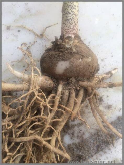 identify flower bulbs