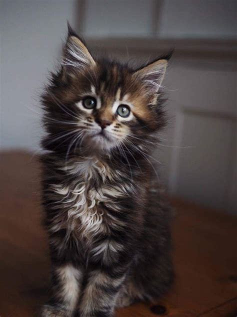 beautiful maine coon kittens  registered breed