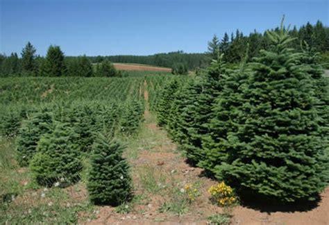christmas tree farms near mt hood trees