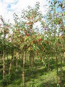 Apfelbaum Hochstamm Kaufen : malus evereste apfelbaum 39 everest 39 hochstamm spalier 39 h 150 b 200 t 10 stamm 200 cm ~ Orissabook.com Haus und Dekorationen