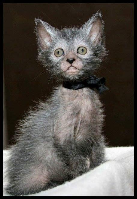 american breeders develop partially bald werewolf cat