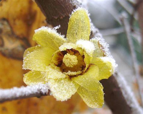 fiore calicanto calicanto prospera in estate e fiorisce in inverno