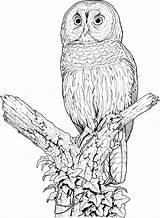 Owl Coloring Animals Wildlife Owls Printable Colouring Animal Sheets Barn Barred Perch sketch template