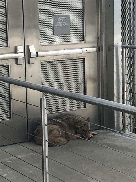 outdoor mezzanine coyote found on museum s outdoor mezzanine released in wild jewish news israel news israel