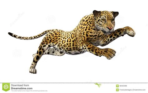 jaguar leaping wild animal isolated  white stock photo
