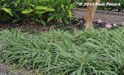 Spider Plants (chlorophytum Comosum)