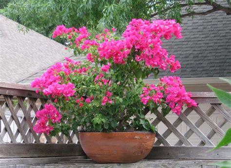 bougainvilleas in pots my mornings