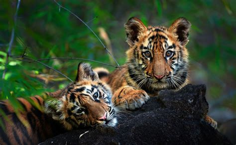 Interesting Facts About Tigers Amazing Tiger