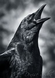 Best Black Crow Ideas And Images On Bing Find What Youll Love
