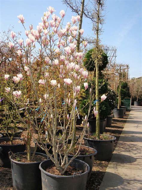Tulpen Pflanzen Balkon by Magnolia Soulangiana Tulpen Magnolie Absolut