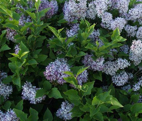 flowering shrubs flowering shrubs5 1024x877 jpg