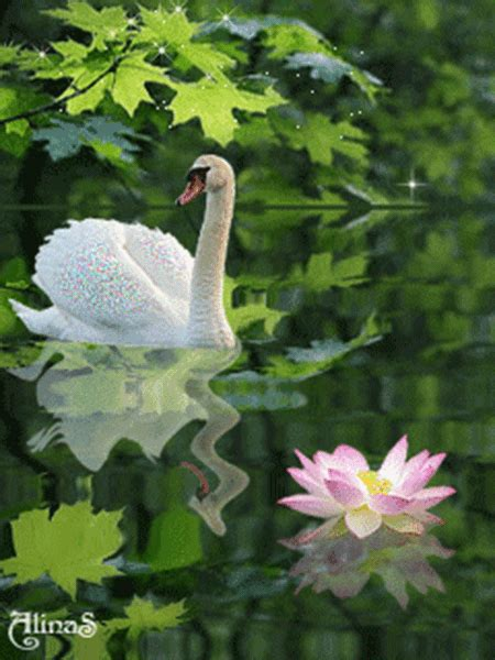 Animated Swan On Lake With Lotus Flower Pictures Photos