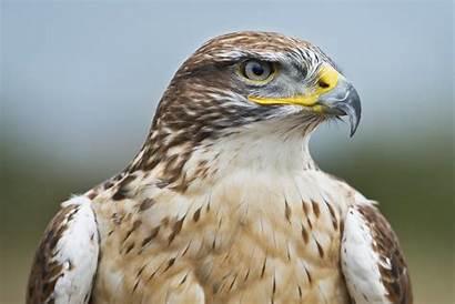 Hawk Falcon Desktop Wallpapers Eagle Head Ferruginous