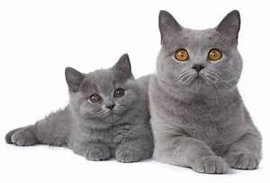 Site De Discussion : chat british shorthair chat et chaton fiche de race du chat british shorthair wikichat ~ Medecine-chirurgie-esthetiques.com Avis de Voitures
