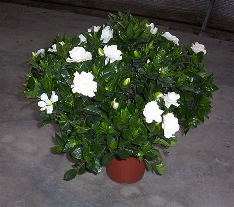 gardenia in a pot plants flowers 187 gardenia jasminoides
