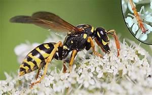 Wespen Im Haus : wespenfalle ungeziefer im haus ~ Lizthompson.info Haus und Dekorationen