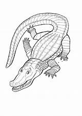Crocodile Nile Colouring Coloring River Drawing Trending Days Last Kidspot sketch template