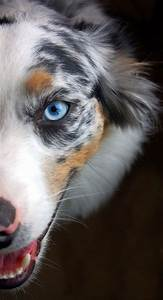 Australian Shepherd - from a land down under where the ...