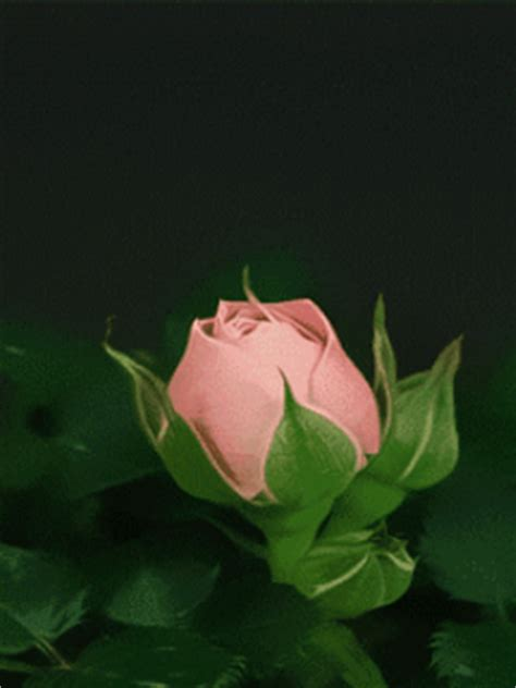 Animated Roses Wallpaper - animated pink wallpaper mobile wallpapers