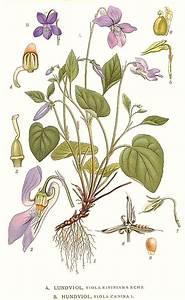 File:223 Viola riviniana, Viola canina.jpg - Wikimedia Commons