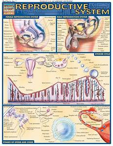 103 Best Reproductive System Images On Pinterest