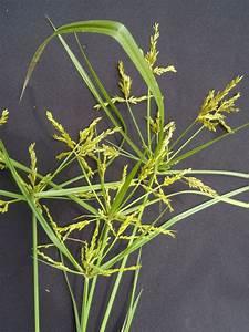Cyperus Iria L   Species