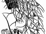 Moss Tree Spanish Coloring Template Sketch sketch template